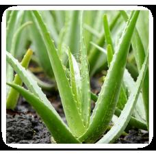 Aloe Socotrina (MP, 6C, 30C)
