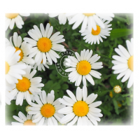 Bellis Perennis (MP, 6C, 30C)