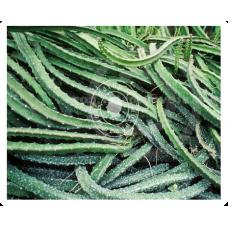 Cactus Grand