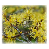 Hamamelis Virg (MP, 6C, 30C)
