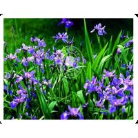 Iris Versicolor (MP, 30C, 200C)