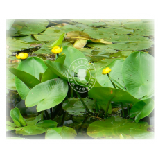 Nuphar Luteum (MP, 3X)