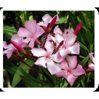 Oleander (MP, 6C, 30C)