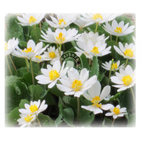Sanguinaria Canadensis (MP, 6C, 30C)