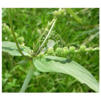Spigelia Anthelmia (MP, 6C, 30C)