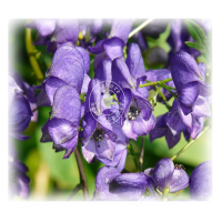 Aconite Nap (MP, 6C, 30C)