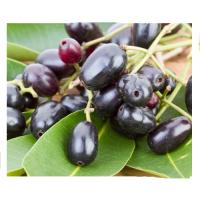Syzygium Jambolanum